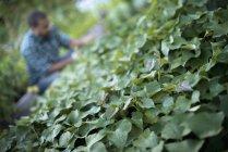 Зеленые листья и фермер, ухаживающий за огурцами в органическом саду . — стоковое фото