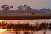 Éléphant d'Afrique dans le delta de l'Okavango, Botswana — Photo de stock