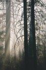 Fumée et terre brûlée après un incendie maîtrisé dans une forêt de conifères . — Photo de stock