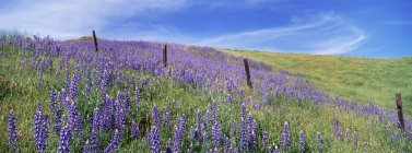 Alpine field of lupin flowers and green grass — Stock Photo