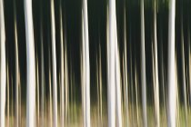 Poplar trees with straight trunks in blurred motion — Stock Photo