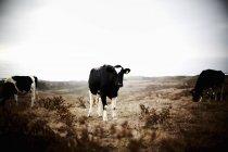 Três vacas que pastam em terras agrícolas — Fotografia de Stock
