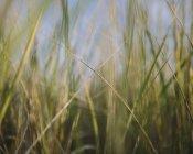 Крупный план ветреной дюны на естественном лугу . — стоковое фото