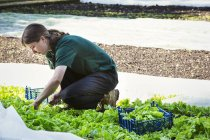 Woman cutting salad leaves from garden field. — Stock Photo
