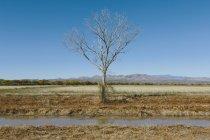 Голые тополь дерево в осень с водоканала в бесплодной поле. — стоковое фото