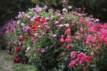 Flowering Crysanthemums in organic flower nursery in summer. — Stock Photo