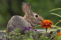 Американские кролик, сидя на лугу с оранжевые бархатцы цветок — стоковое фото
