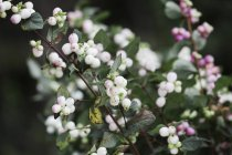 Brancas e rosa bagas em hastes de arbusto no viveiro orgânico. — Fotografia de Stock