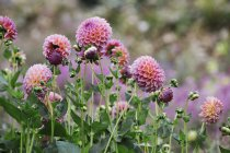 Cama de vivero de flores ecológicas con dalias globo rosa . - foto de stock