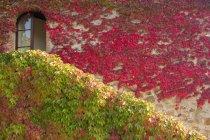 Feuillage de lierre coloré sur le mur de la villa de campagne en Italie . — Photo de stock