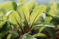 Close-up of micro leaves of salad plants growing in vegetable garden. — Stock Photo