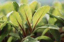 Крупный план микролистьев салатных растений, растущих в огороде . — стоковое фото