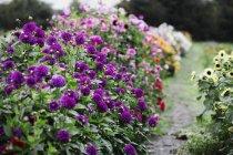 Flowering Dahlias in organic flower nursery in summer. — Stock Photo