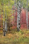Trail through maple and aspen autumnal woods. — Stock Photo