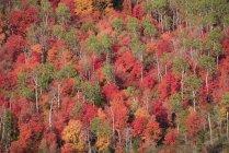 Bosque de arce y aspen en vivos colores otoñales de follaje. - foto de stock