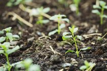 Young seedlings in soil at organic plant nursery. — Stock Photo