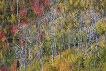 Ліс Клен та осикові дерев в яскраві кольори осені листя — стокове фото
