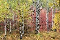 Traccia attraverso acero e aspen bosco autunnale — Foto stock