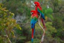 Guacamayos rojo y verde en rama de árbol en bosque de Buraco das Araras, Brasil - foto de stock