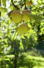 Obst Apfel Baum auf Bauernhof, Nahaufnahme — Stockfoto