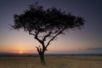 Acacia tree in scenic landscape on sunset in prairie of Kenya — Stock Photo