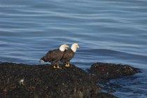 Deux pygargue à tête blanche, perchée sur les rochers de l'eau. — Photo de stock
