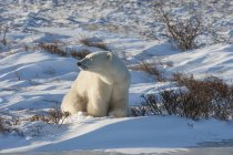 Polar bear scavando prato nevoso. — Foto stock