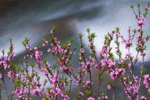 Springtime pink blossoms on shrub — Stock Photo
