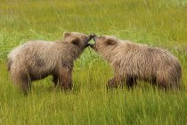 Brown bears cubs playing in green meadow. — Stock Photo