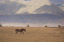 Passeggiata a cavallo sulla pianura erbosa nel Parco Nazionale dei Los Glaciares in Argentina — Foto stock