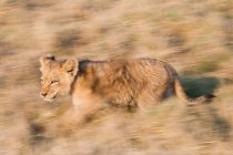 African lion cub moving on prairie in Botswana — Stock Photo