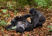 Gorilas de montaña con juvenil jugando en el follaje del Parque Nacional de volcanes, Ruanda - foto de stock