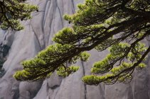Tree branches with foliage and Huang Shan landscape, China — Stock Photo