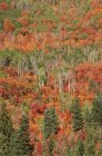 Arce y aspen árboles en un bosque otoñal. - foto de stock