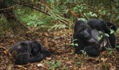 Gorilas de montaña con menores sentados en el follaje del Parque Nacional de volcanes, Ruanda - foto de stock