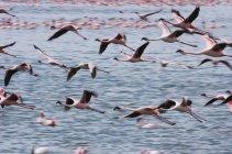Lesser flamingos flying over water of Lake Narasha, Kenya. — Stock Photo