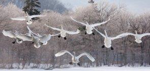 Singschwäne auf zugefrorenen See in Hokkaido fliegen — Stockfoto