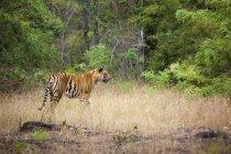Tigre adulto caminando en el prado forestal en el Parque Nacional Bandhavgarh, India - foto de stock