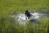 Cão labrador delimitadora através de águas rasas negro — Fotografia de Stock