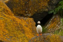 Horned puffin bird standing on mossy rocks. — Stock Photo