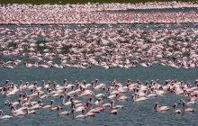 Lesser flamingos in water of Lake Narasha, Kenya — Stock Photo