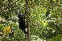 Gorila de montaña juvenil de escalada en árboles en el Parque Nacional de volcanes, Ruanda - foto de stock