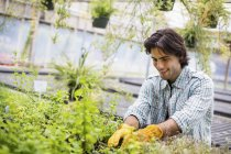 Man tending young plants in glass house on organic farm. — Stock Photo