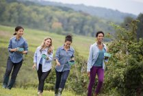 Four women walking among row of blackberry bushes. — Stock Photo