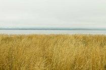 Hierba marina en Wilapa Bay cerca de Oysterville, Washington, EE.UU. . - foto de stock