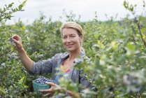 Woman picking blueberries from bushes at organic farm. — Stock Photo