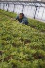 Man working in large glasshouse full of organic plants on organic farm. — Stock Photo
