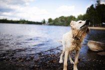 Мокра собака струшуючи води на березі озера. — стокове фото
