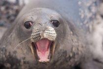 Weddell cucciolo di foca con la bocca aperta, primo piano . — Foto stock