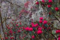 Рододендрон у лісі Долина Паро, Бутану. — стокове фото